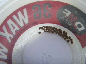 hatching stick insect eggs
