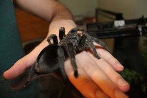 tame brazilian black tarantula