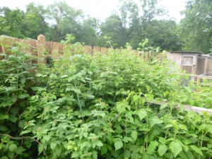 stick insect food plot