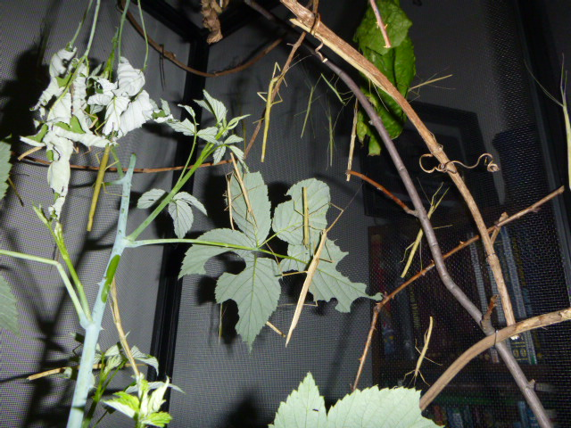 stick insect cage