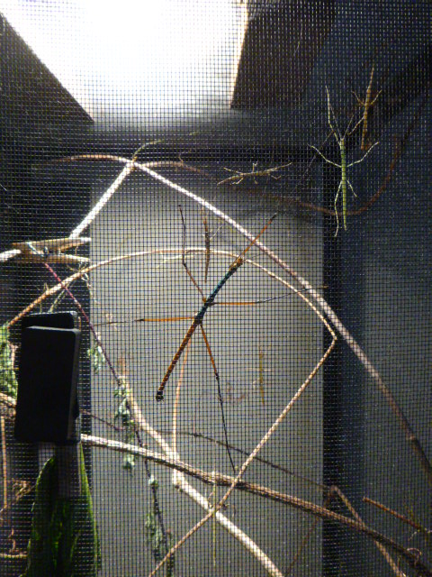 how to breed stick insects